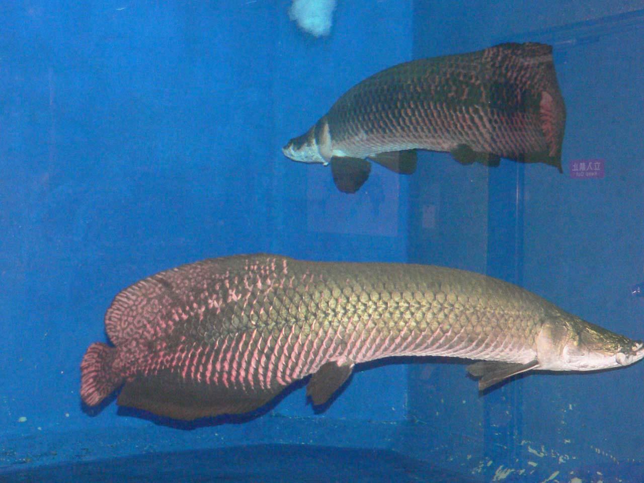 Big fish little pond punjapit for Big fish pond